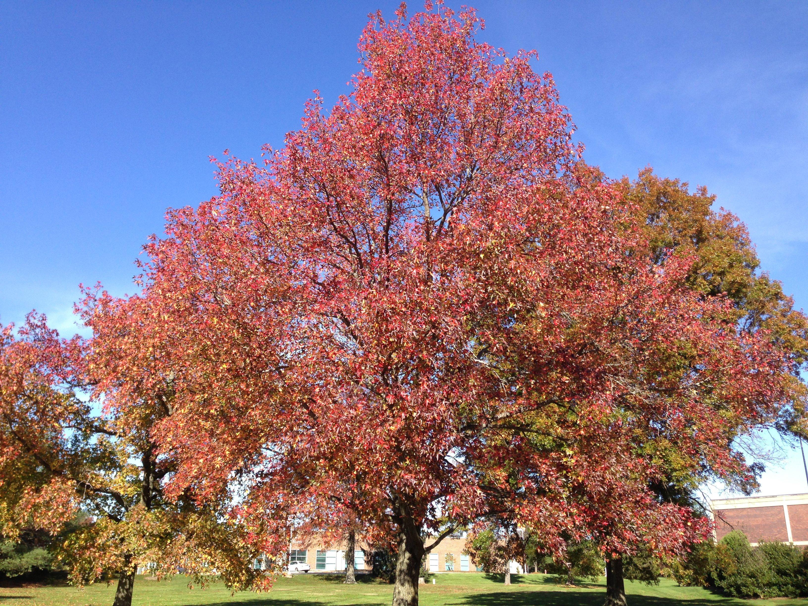Image showing Sweetgum during autumn. (Photo courtesy of Farmartin)