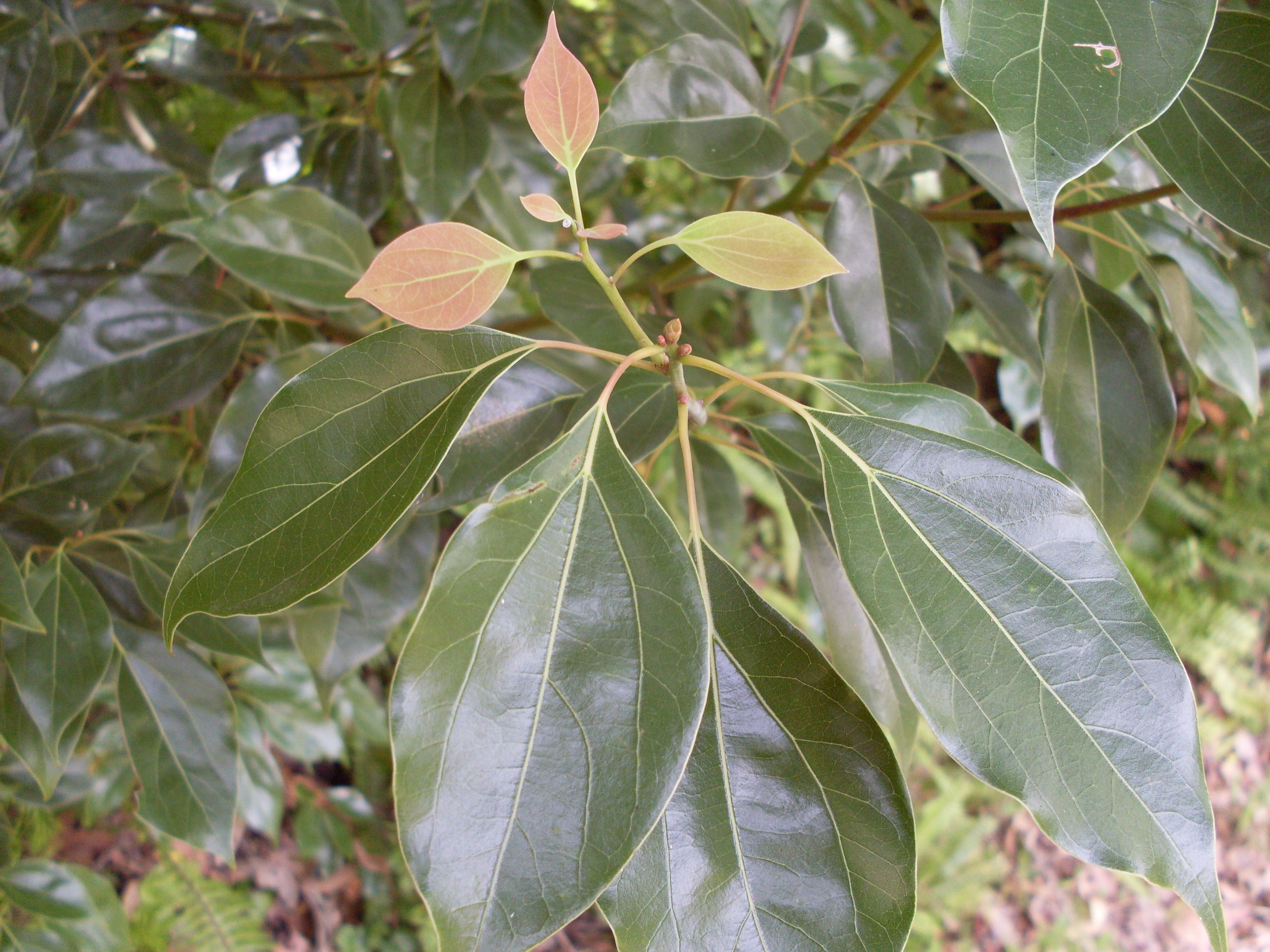Camphor_Laurel_leaf_(5057099352)