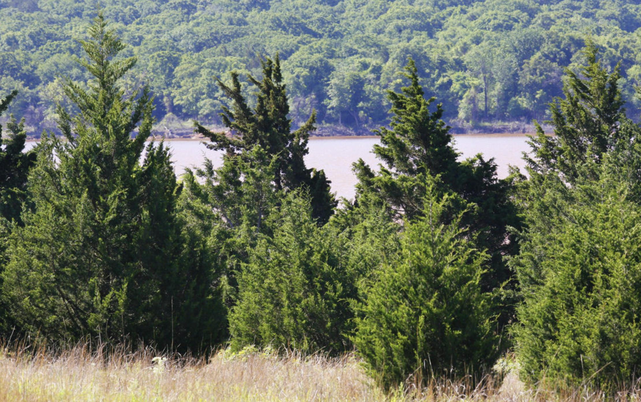 Red Cedar Trees