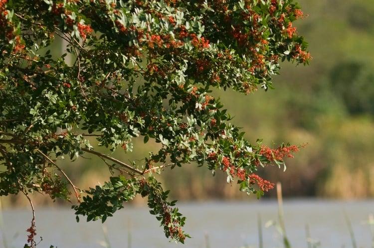 the invasive Brazilian peppertree