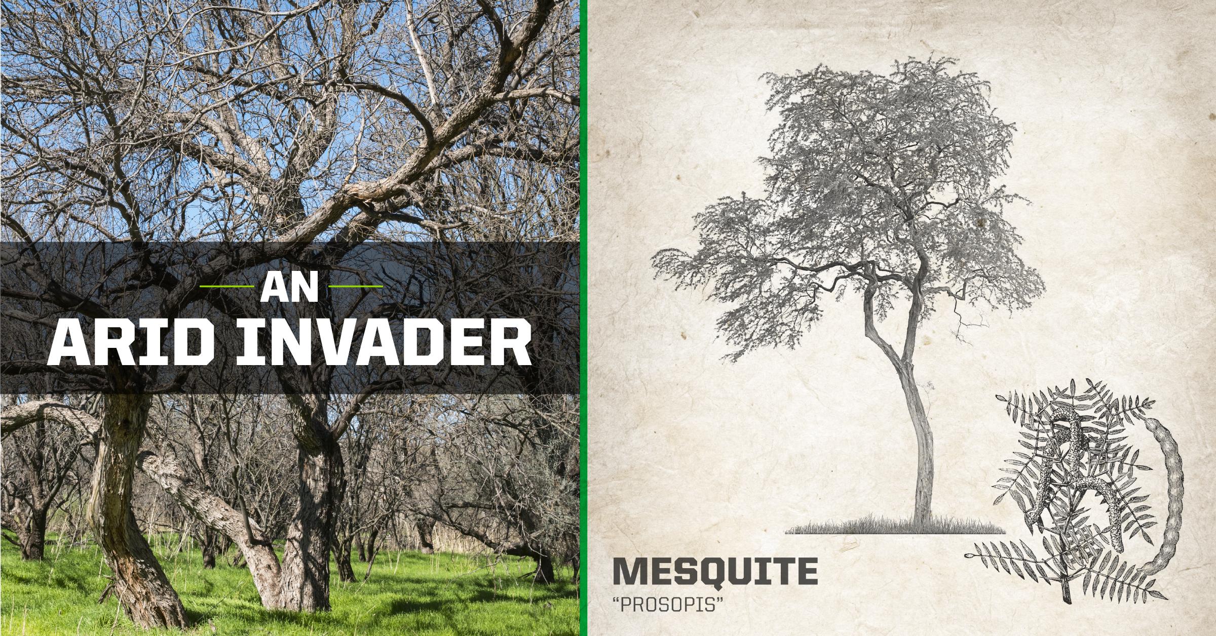 Mesquite Tree - An Arid Invader
