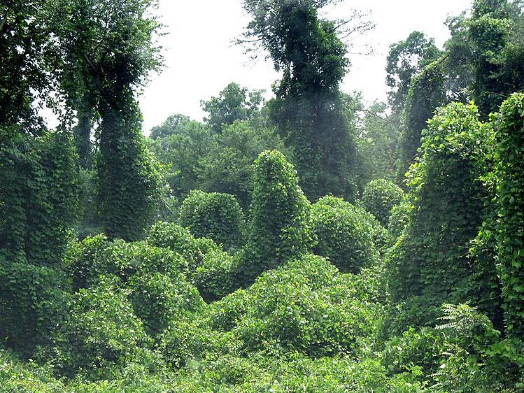 Kudzu invasive species