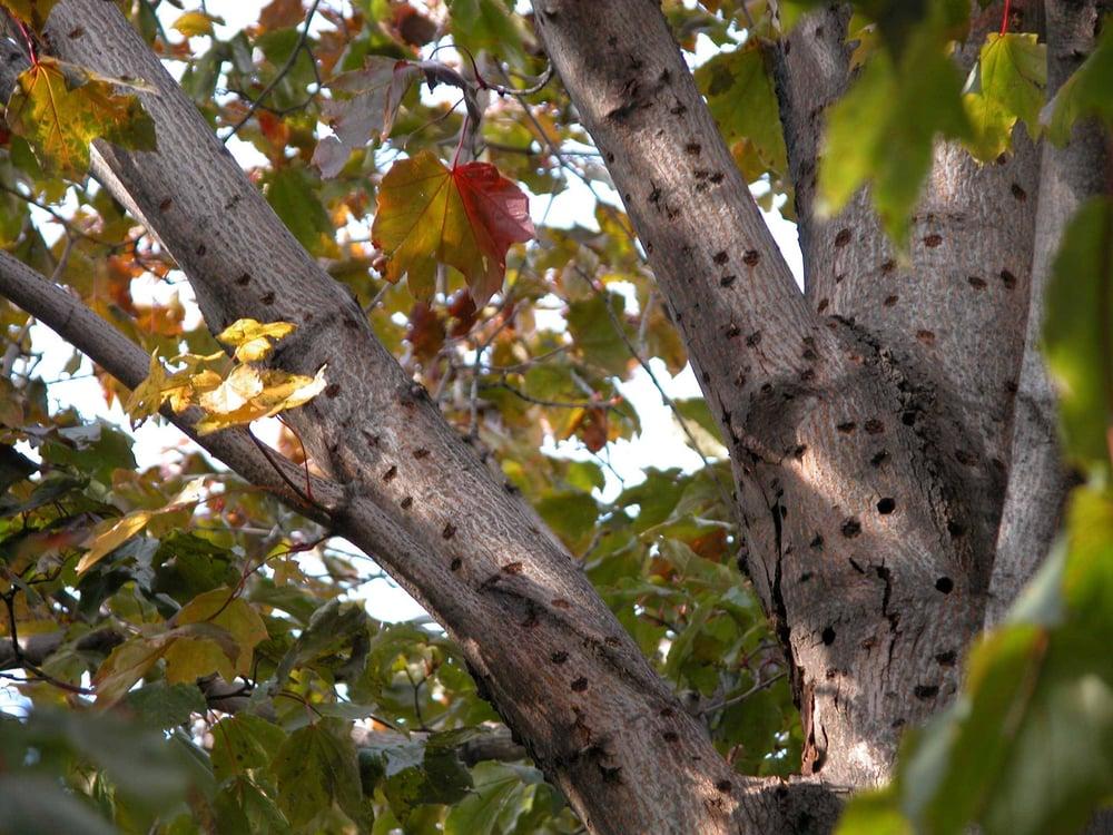 Asian Long Horned Beetle Tree Damage