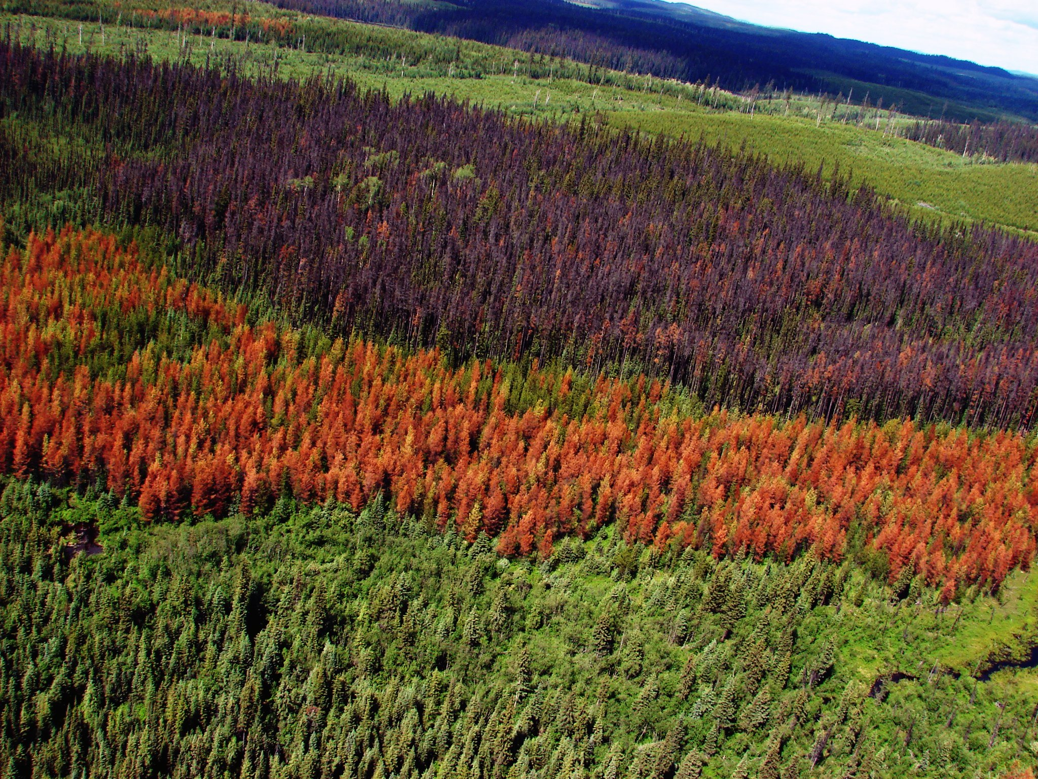 Forest damaged by the mountain pine beetle. Photo by: Dezene Huber, University of Northern British Columbia