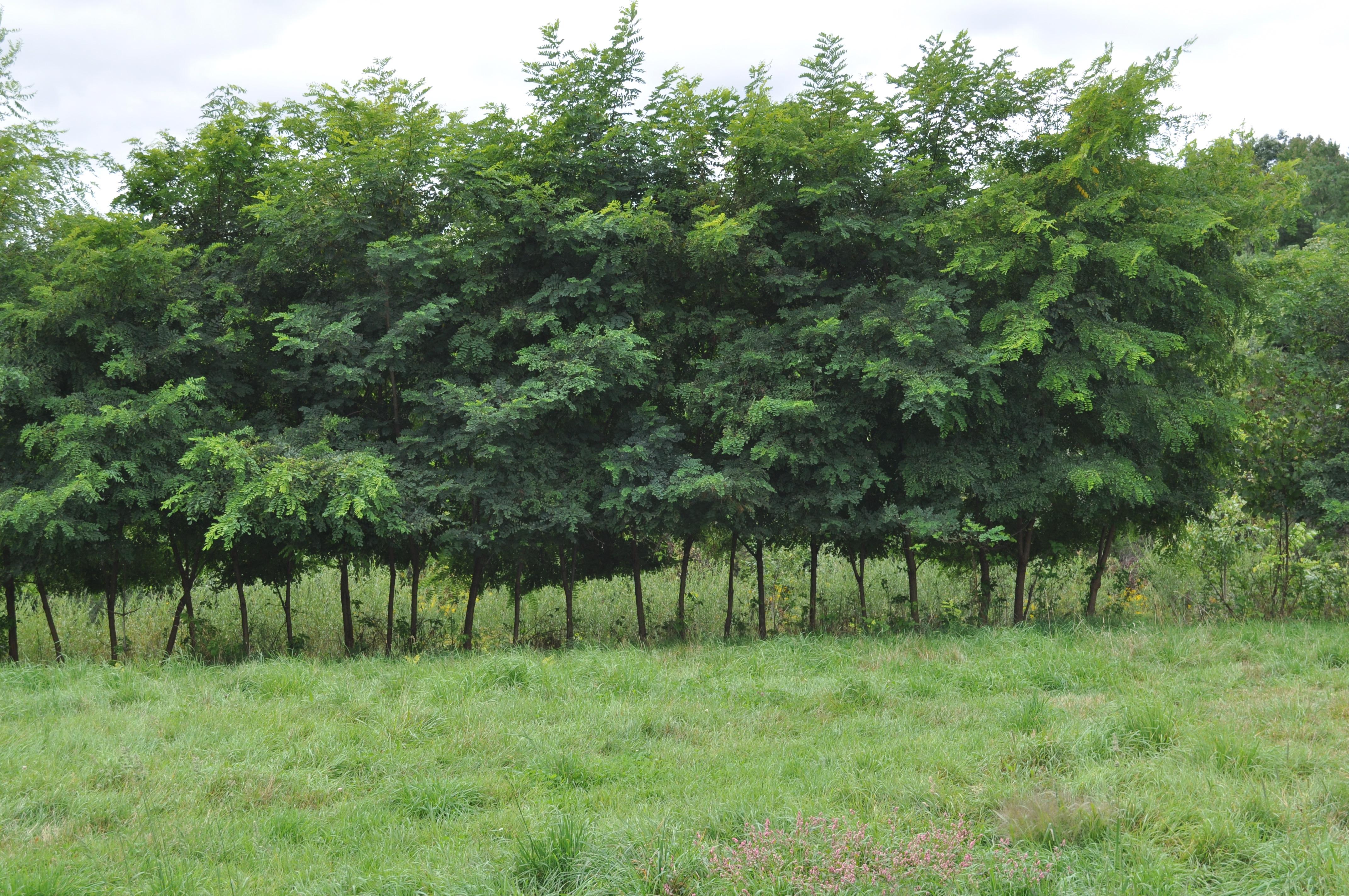 Black Locust Treets