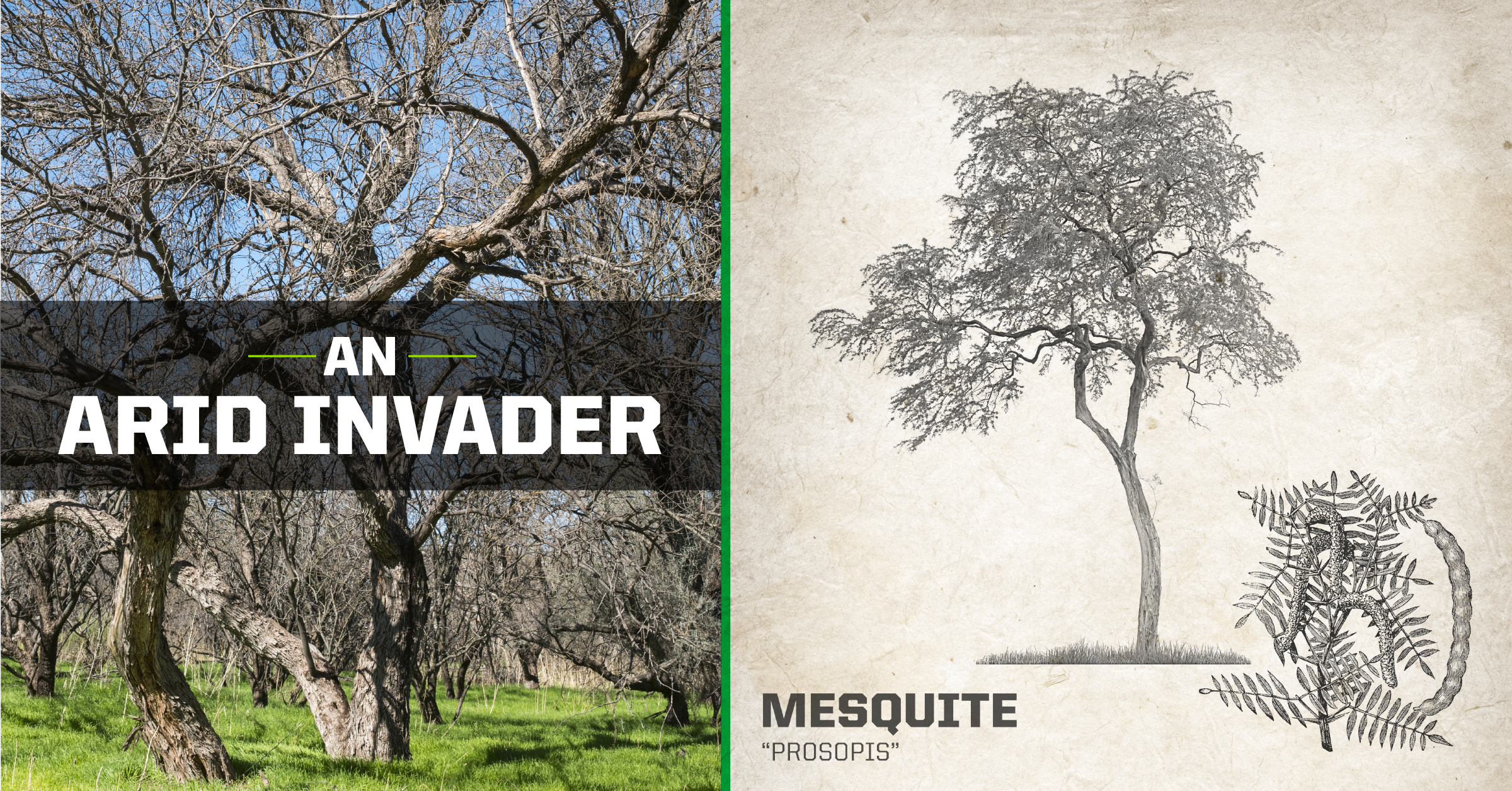 Mesquite Tree - An Arid Invader