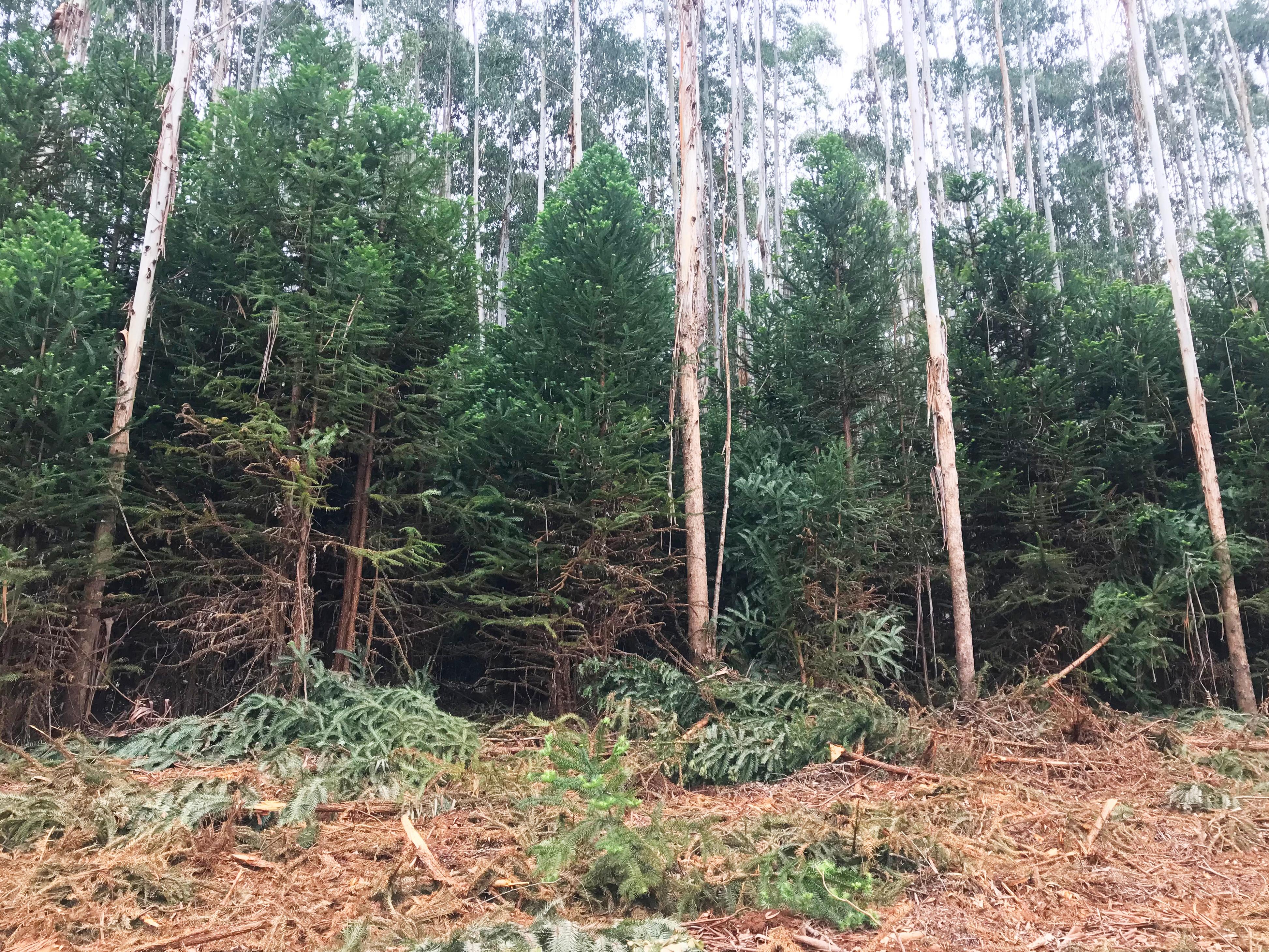pine_infestation_edited.jpg